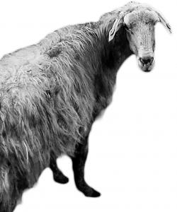 half_sheep